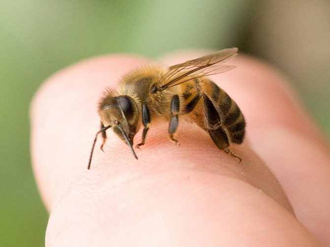 Bee on a person's finger
